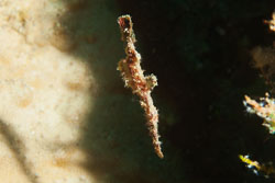 BD-150423-Maldives-7926-Solenostomus-cyanopterus.-Bleeker.-1854-[Ghost-pipefish].jpg